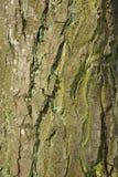 吠声接近的老纹理结构树 库存照片