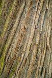 吠声木头纹理 库存照片