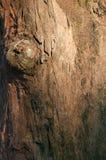 吠声木结构树纹理背景 免版税库存图片