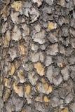 吠声木头,杉树纹理  免版税库存照片