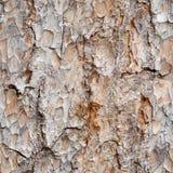 吠声杉木无缝的纹理 库存图片