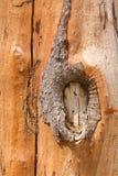 吠声杉木纹理树干 库存图片