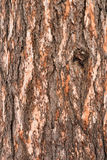 吠声杉木纹理 库存图片