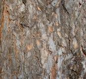 吠声杉木 免版税图库摄影