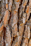 吠声杉木 免版税库存照片