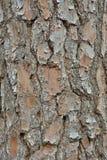 吠声杉木18 免版税库存图片