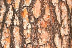 吠声杉木2 免版税库存图片