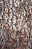 吠声杉树 免版税图库摄影