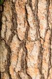 吠声杉树 免版税库存照片