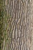 吠声树的自然结构 免版税库存照片