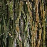 吠声树纹理本质上 图库摄影