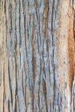 吠声树纹理背景的 免版税库存照片