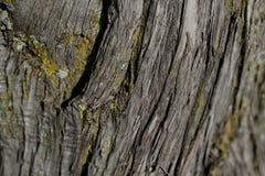 吠声树纹理 吠声树背景 抽象纹理和背景设计师的 免版税库存照片