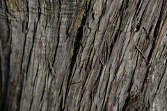 吠声树纹理 吠声树背景 抽象纹理和背景设计师的 免版税库存图片