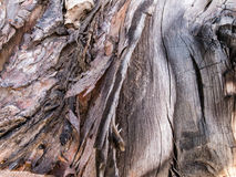 吠声树背景 库存图片