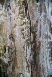 吠声桦树关闭纹理视图 免版税图库摄影