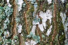吠声桦树关闭纹理视图 库存照片