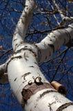 吠声桦树宽重点削皮 库存图片