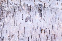 吠声桦树查出的白色 图库摄影