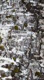 吠声桦树查出的白色 库存照片