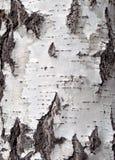 吠声桦树查出的白色 免版税库存图片