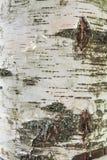吠声桦树查出的白色 免版税库存照片