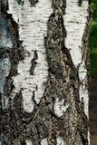 吠声桦树 免版税库存图片
