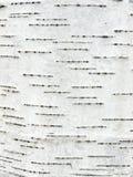 吠声桦树 免版税图库摄影