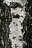 吠声桦树 免版税库存照片