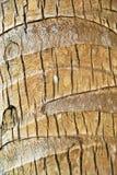 吠声棕榈树 免版税库存照片