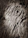 吠声橄榄树 库存图片