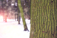 吠声特写镜头颜色乌贼属口气结构树 冬天森林风景在黎明 免版税库存照片