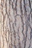 吠声的自然结构杉树 免版税库存图片
