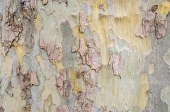 吠声的部分在一棵巨大的树的 库存图片