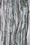 吠声纹理结构树 免版税库存图片