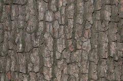 吠声结构树纹理特写镜头  免版税图库摄影