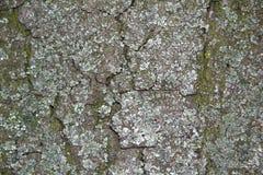 吠声老白杨树纹理结构树 抽象背景 免版税库存图片