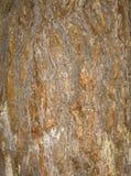 吠声老白杨树纹理结构树 杉树背景树干  免版税库存图片