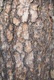 吠声老白杨树纹理结构树 自然木头背景 免版税库存图片