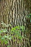 吠声老白杨树纹理结构树 免版税库存照片