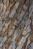 吠声老白杨树纹理结构树 黄柏 免版税图库摄影