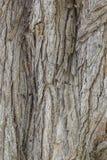 吠声老白杨树纹理结构树 黄柏 库存图片