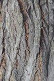 吠声老白杨树纹理结构树 黄柏 免版税库存图片