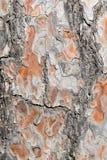 吠声老白杨树纹理结构树 老杉树的布朗纹理 库存照片