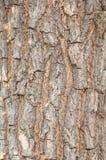 吠声老白杨树纹理结构树 自然木头 库存照片