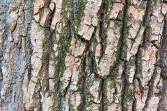 吠声老白杨树纹理结构树 图库摄影