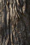 吠声老白杨树纹理结构树 库存照片