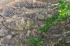 吠声老结构树 免版税库存图片