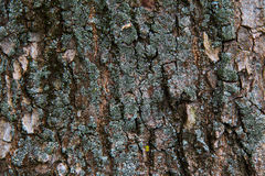 吠声老结构树 免版税库存照片