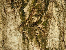 吠声老结构树 库存照片